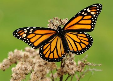 Vote here, vote now… to help conserve Monarch Butterflies